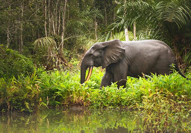 Elefantes africanos estão mais próximos da extinção, revela relatório