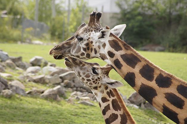 Duas girafas de perto
