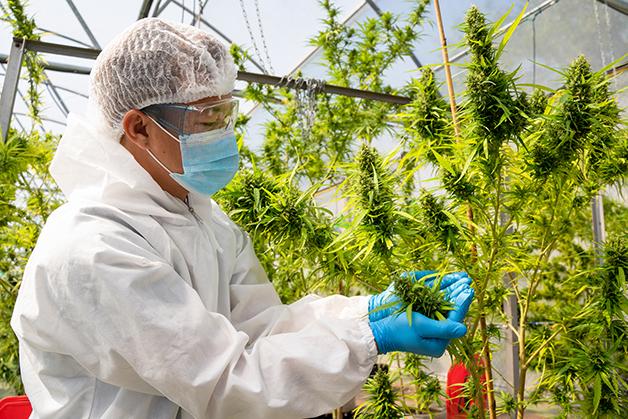 Cientista cuidado de plantação de maconha para uso medicinal no Canadá