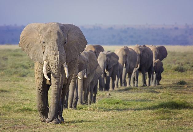 Loxodonta africana, ou Elefante-da-Savana