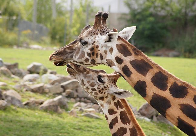 Amizade entre girafas fêmeas faz com que animais vivam mais