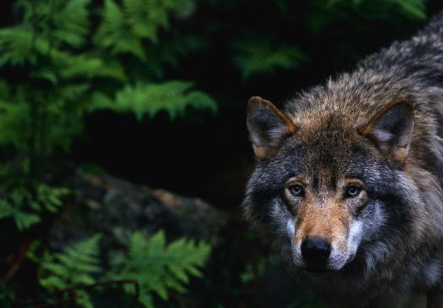 Caçadores causam revolta por morte de 216 lobos em 60 horas