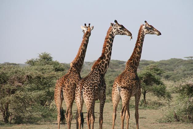 Três girafas na savana africana