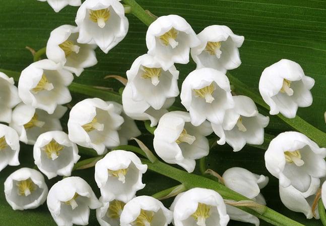 Muguet: a flor perfumada e bela que se tornou símbolo do amor nos buquês da família real