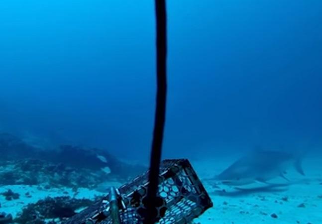 Tubarão-martelo raro é visto nadando nas águas de João Pessoa