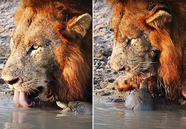 Tartaruga vai pra cima de leão e leoa que bebiam água em seu poço; assista ao vídeo