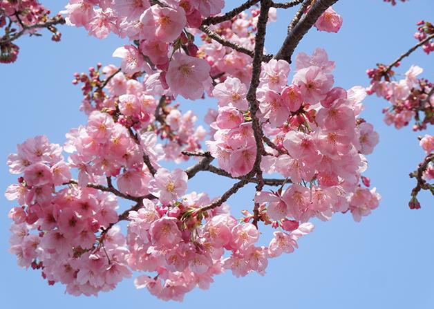 flores das cerejeiras