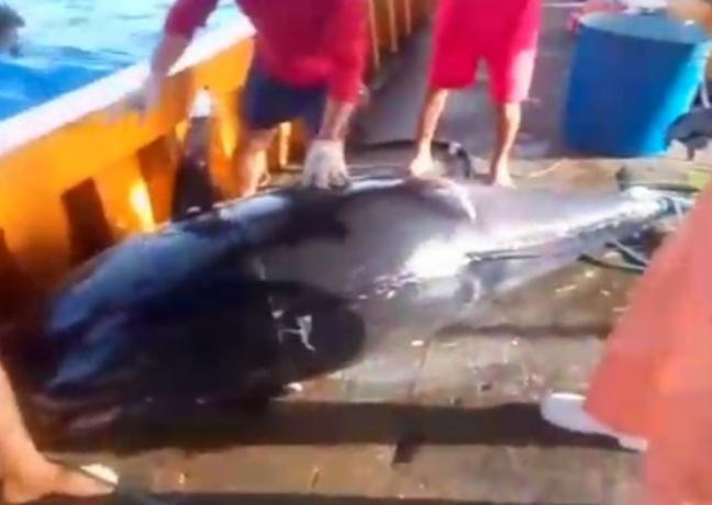 Pescadores perdem bolada por erro no trato de atum azul; peixe foi vendido por R$ 1,8 mi no Japão