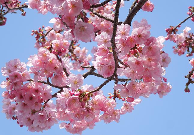 Japão vê cerejeiras florescerem mais cedo em 1,200 anos por causa da emergência climática