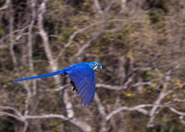 A Arara-Azul
