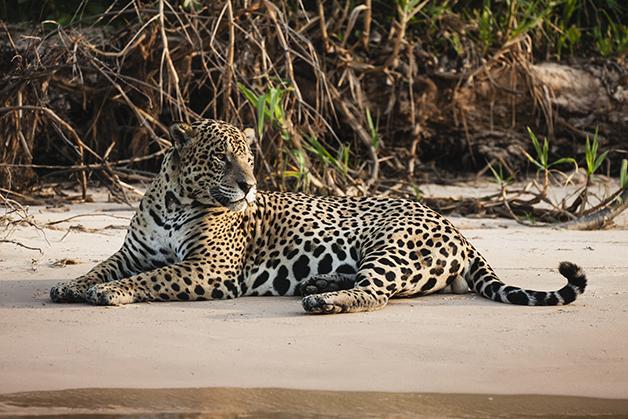 Uma onça-pintada à beira de um rio no Pantanal