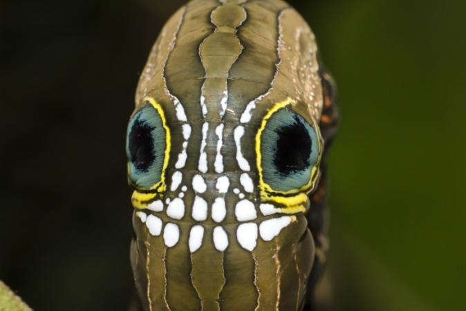A lagarta que imita uma caveira gigante para assustar os predadores