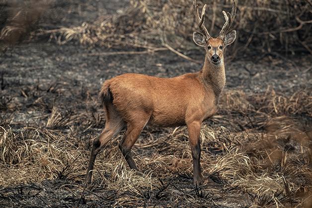 Um cervo-do-pantanal em meio às queimadas da região