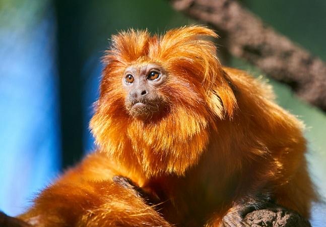 Animais em extinção: estudo aponta mico-leão-dourado entre os mais vulneráveis às mudanças climáticas