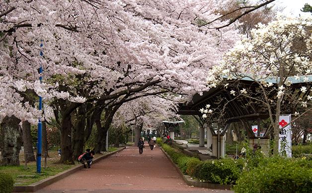 Flores de cerejeira no Japão