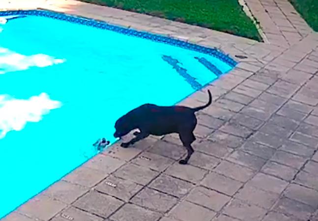 Cachorrinha salva cãozinho de se afogar em piscina; veja vídeo