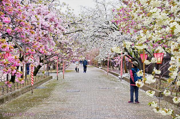 Flores nas cerejeiras do Japão