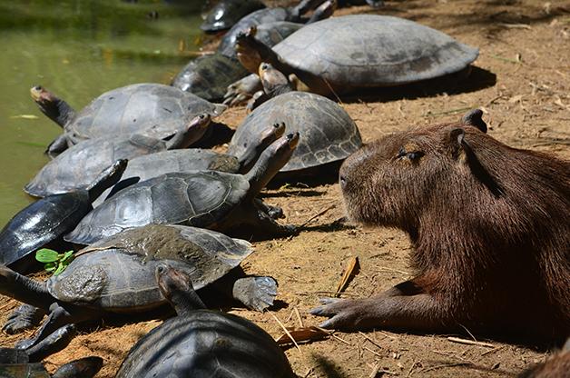 Uma capivara junto de tartarugas Arrau à beira do rio Amazonas