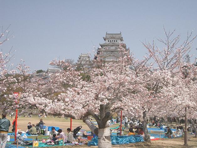 Hanami acontecendo em frente ao castelo Himeji, no Japão