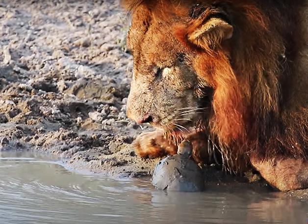 A tartaruga enfrentando o leão na África do Sul