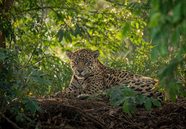 Animais em extinção: incêndios no pantanal colocam onça-pintada em risco