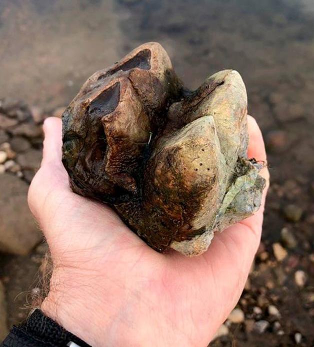 O dente molar de um mastodonte nas mãos do guarda florestal