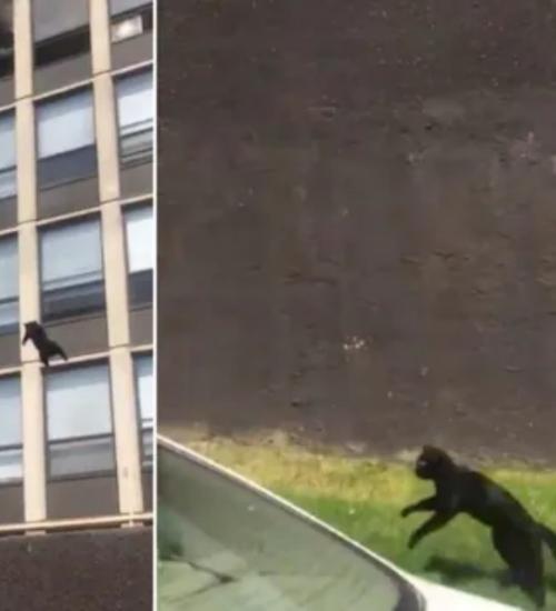 Gata pula de 5º andar e sai andando normalmente; ciência explica habilidade felina