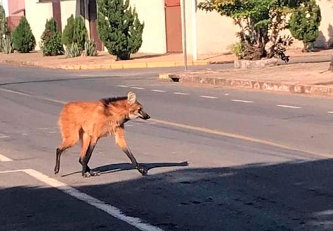 Lobo-guará é visto circulando em cidade do MT; animal está ameaçado de extinção