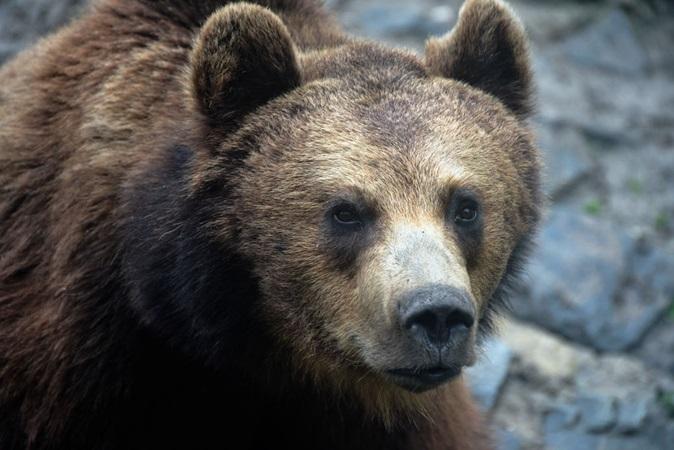 Maior urso vivo da Europa teria sido morto por príncipe