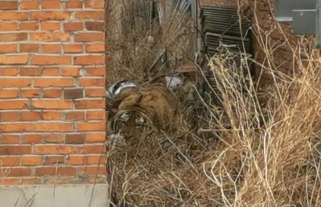 Tigre-siberiano na China