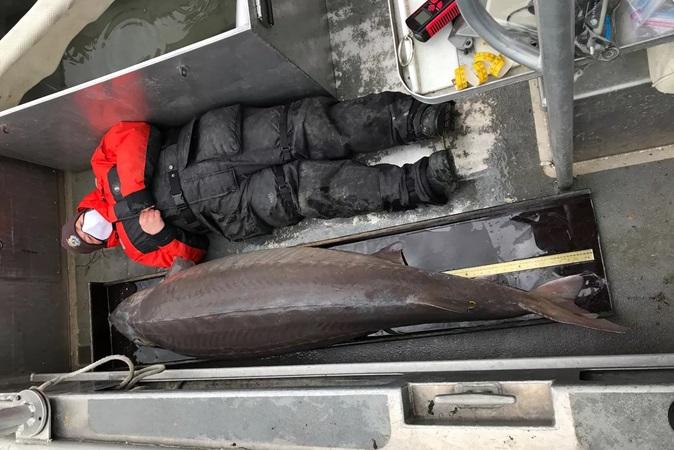 Peixe de quase 110 kg pescado em rio pode ter mais de 100 anos