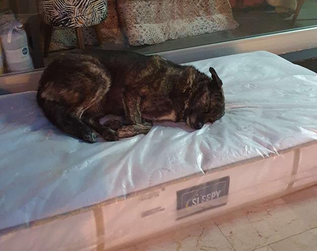 cachorros dormindo em colchão na Turquia
