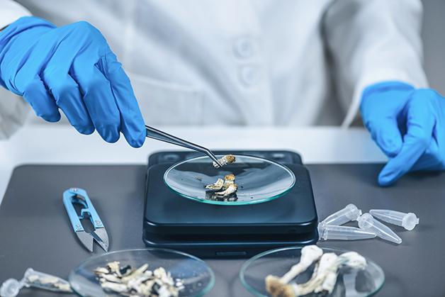 Cogumelo mágico estudado em laboratório