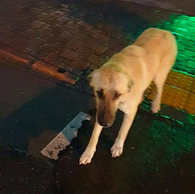 cachorro na Turquia
