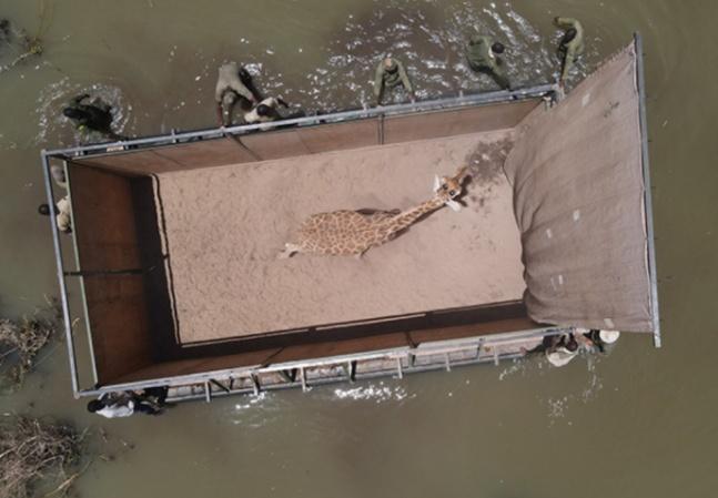 Girafas são resgatadas antes de ilha no Quênia desaparecer