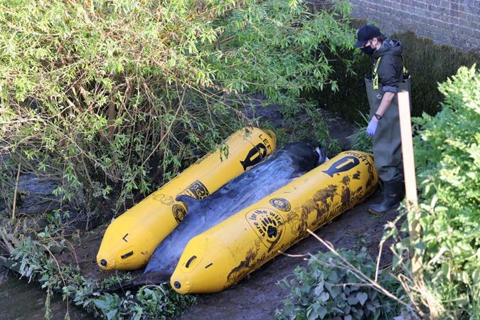 Filhote de baleia será sacrificado depois de encalhar no Rio Tâmisa