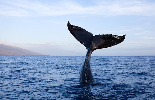 Rabo de baleia
