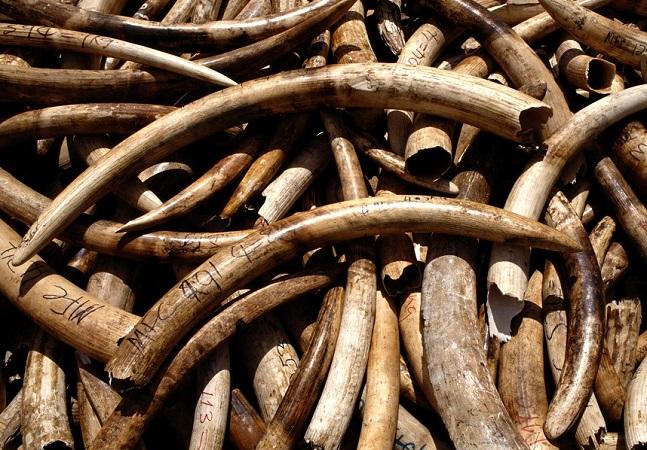 A presença do tráfico internacional de marfim de elefantes no Brasil
