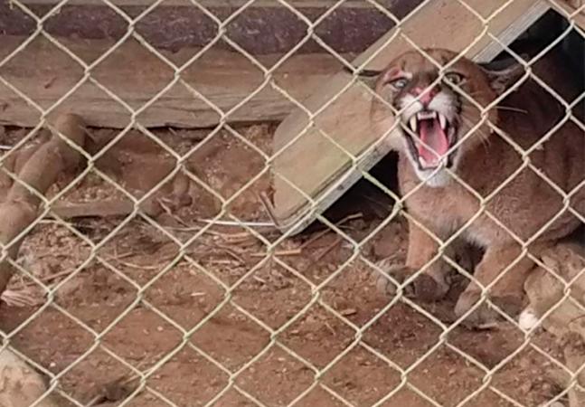 Onça-parda fica presa em cercado de pavões; veja vídeo