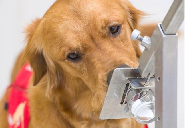 Cães treinados já são capazes de detectar Covid-19 em menos de um segundo