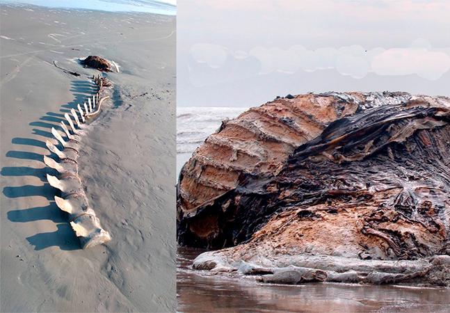 Esqueleto encontrado em praia pode ser de baleia enterrada há 12 anos