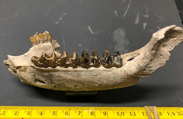 Parte da mandíbula da anta pré-histórica descoberta
