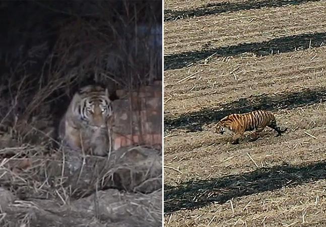 Tigre-siberiano ataca fazendeiro e amassa carro em vilarejo na China