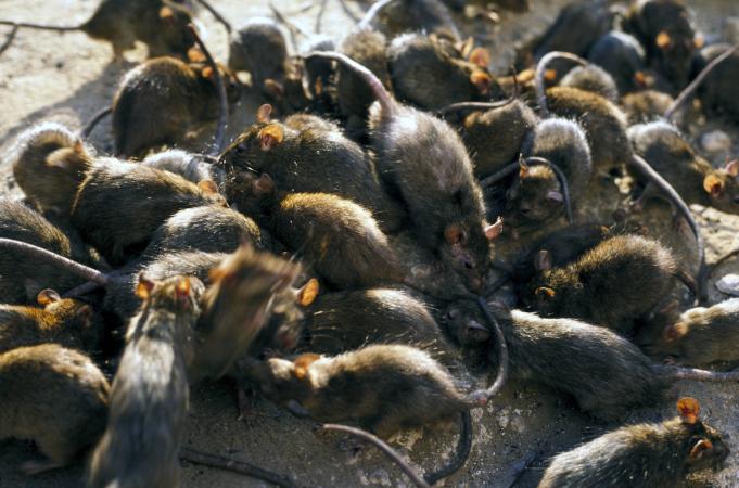 Austrália vive infestação de ratos sem precedentes: 'Andam no travesseiro'