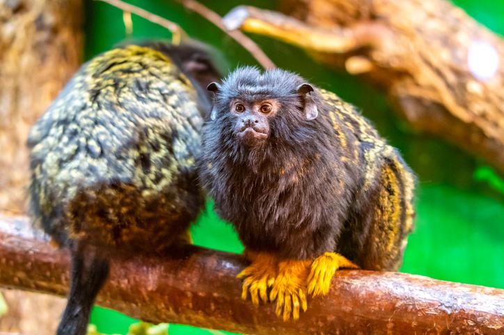 O 'sotaque' desenvolvido por macacos da Amazônia para se comunicar com outras espécies