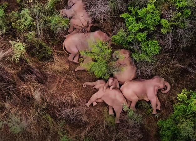 Manada de elefantes descansando