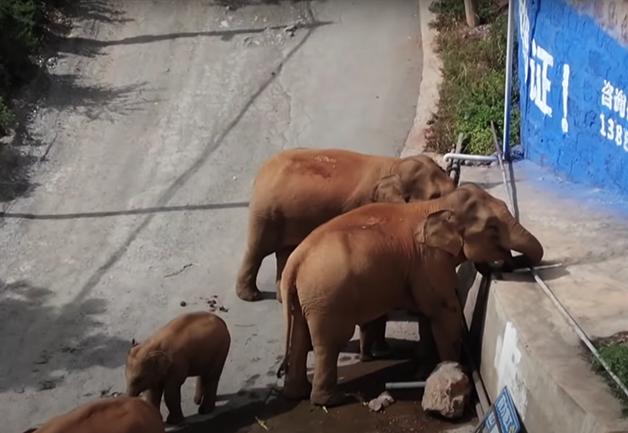Manada de elefantes viajando