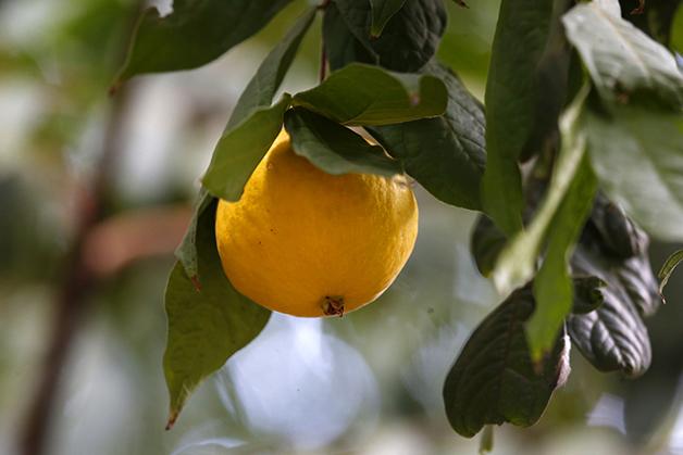 O Araçá-Boi, uma das espécies da fruta