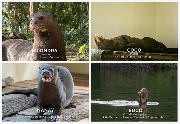 Os quatro exemplares da Lontra gigante ainda presentes na Argentina