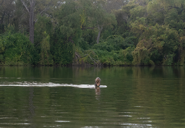 Lontra gigante é vista após 40 anos na Argentina; espécie ainda é encontrado no Rio Amazonas